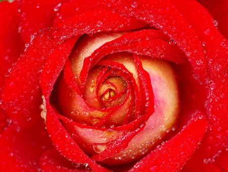 macro of red rose with water drops photo
