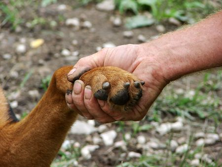 pal: A paw of a golden retriever and a male hand                                 Stock Photo