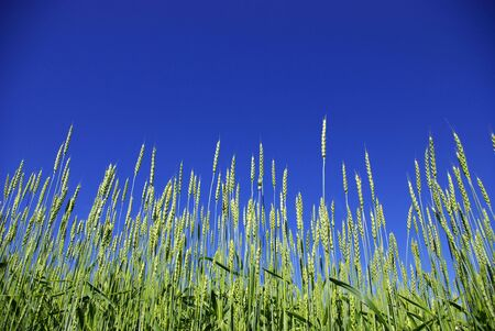 Early summer corn with a blue sky background photo