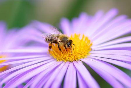 calceolaria: violetta fiori e api