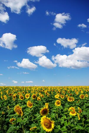 sunflower field over cloudy blue sky Stock Photo - 3361504