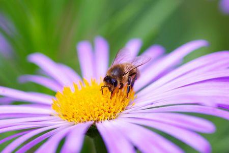 calceolaria: violetta fiori e api  Archivio Fotografico