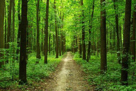 woodland path:  forest