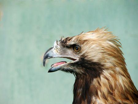 eagle                                 Stock Photo - 3627577