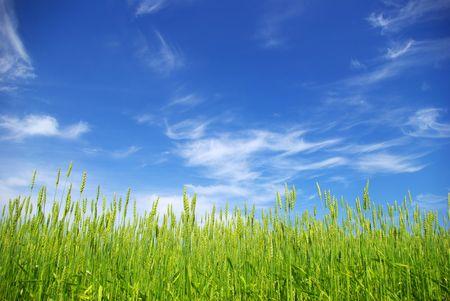 summer corn with a blue sky  photo