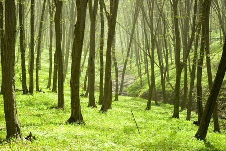 elusive: a breathtaking view as the sun shines through the forest on a misty day