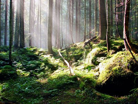 breathtaking: a breathtaking view as the sun shines through the forest on a misty day.