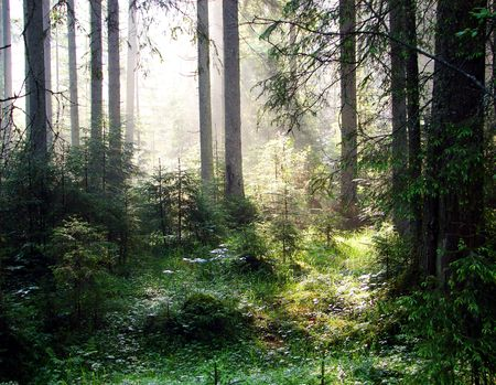 a breathtaking view as the sun shines through the forest on a misty day.                                photo