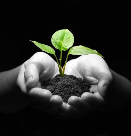 planta con raiz: La celebraci�n de Sapling manos en el suelo Foto de archivo