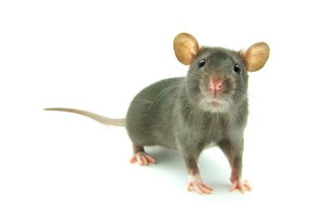 rat: funny rat