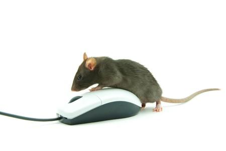 ratty: Rat e il mouse di un computer