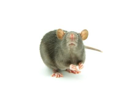 funny rat  isolated on white background photo