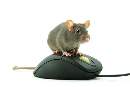 Rat and a computer mouse  photo