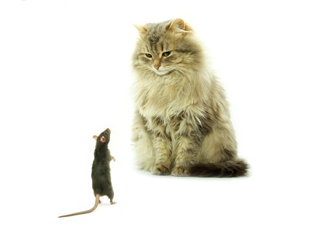 funny rat and cat  photo