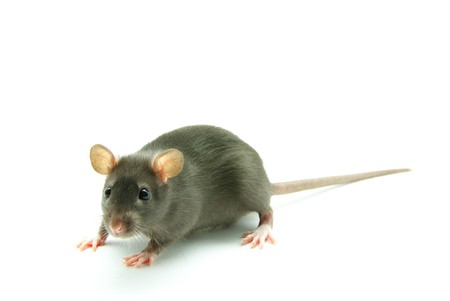 rat Stock Photo - 4304017
