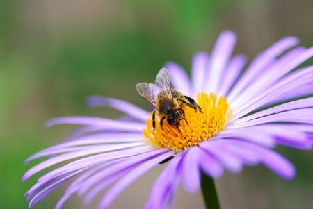 calceolaria: Immagine del bel fiore viola e ape