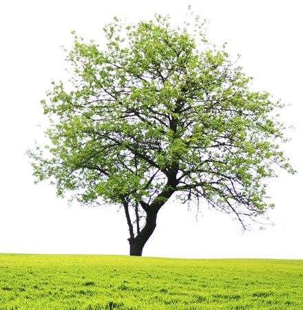tree with green leaves isolated on white background photo
