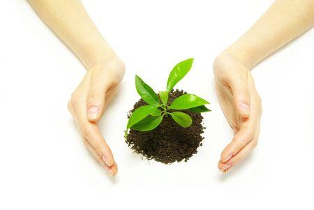 replant: Hands holding alberello nel suolo su bianco