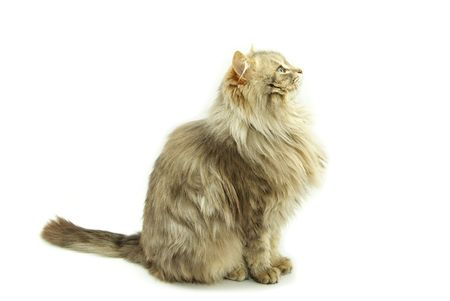 cat  isolated on a white background photo