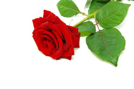 Close-up shot of a red roses Stock Photo - 4805612