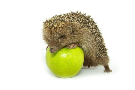 hedgehog and apple isolated on white  photo
