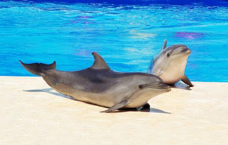 Happy dolphins in the blue water of the swimming pool Stock Photo - 5481764
