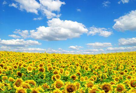 champ de tournesol au ciel bleu ensoleillé
