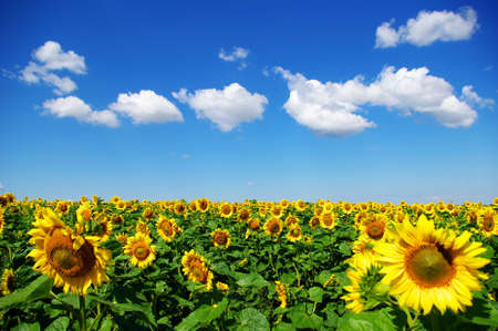 yellow sunflower and blue sky background photo