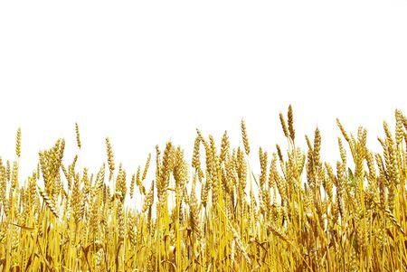 espiga de trigo: listo para crece en un campo de la granja de cosecha de grano