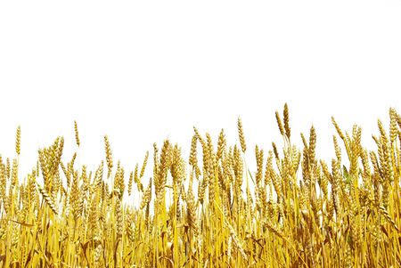 wheat harvest: pronto per crescere in un campo di fattoria di raccolto di grano