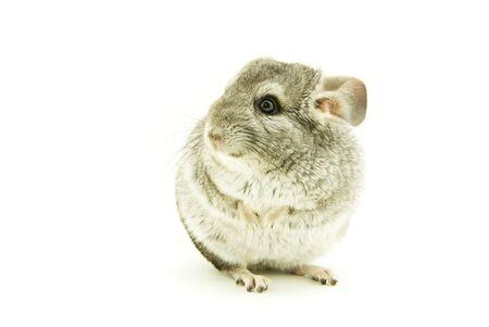 chinchilla: gray chinchilla isolated on white