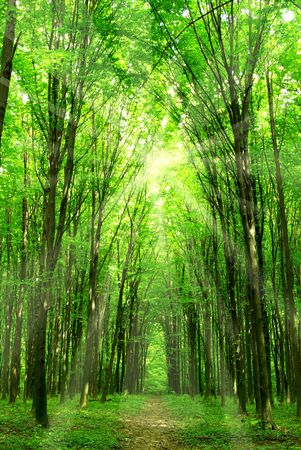 woodland: a path is in the green forest