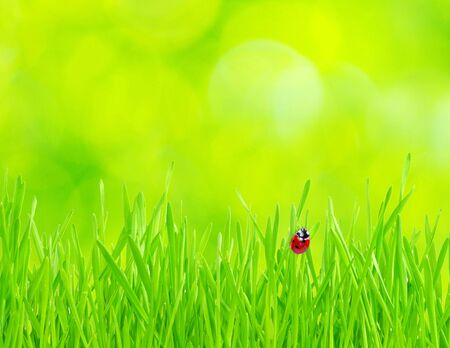 red ladybug on green grass isolated on green photo