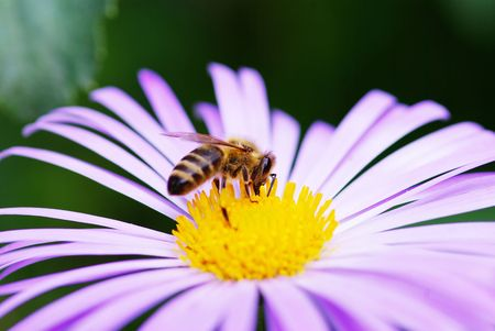 Image of beautiful  violet flower and bee