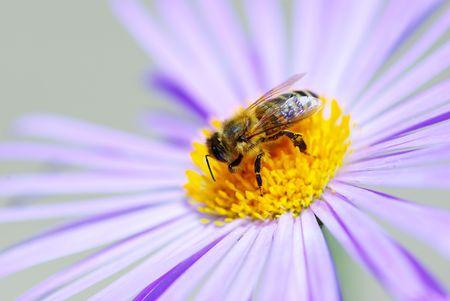 calceolaria: Immagine della bella fiore viola ed ape