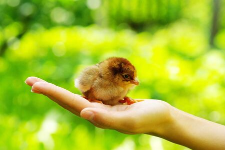 caring for: Hand hold caring for a small chicken Stock Photo
