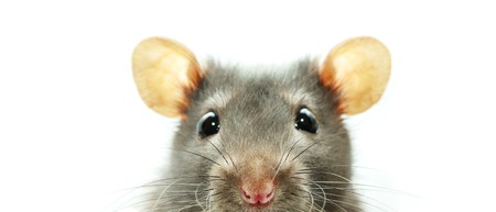mouse animal: funny rat  isolated on white background