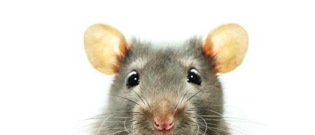 raton: Funny rata aislado sobre fondo blanco  Foto de archivo