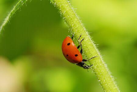 ladybug sitting on the blade of grass photo