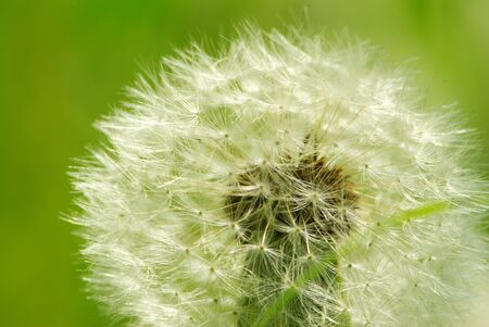 Close up of a dandelion on green Stock Photo - 7253589