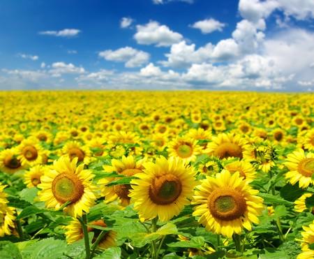 sunflower field over cloudy blue sky photo