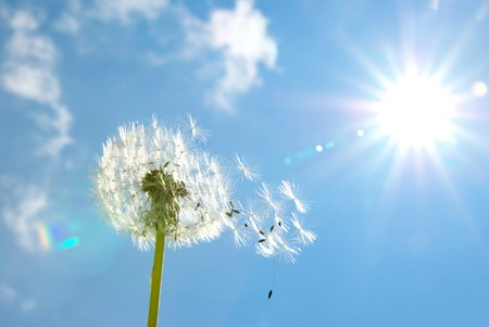 Dandelion seeds blowing in the blue sky photo