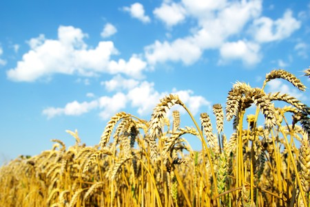 Field of wheat over blue sky photo
