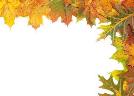 embrasure: Frame with colored autumn maple leaves - white background