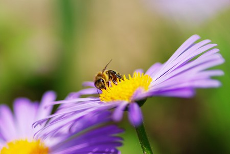 calceolaria: Immagine del bellissimo fiore viola e bee