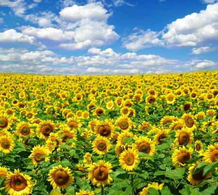 champ de tournesol sur fond de ciel bleu nuageux