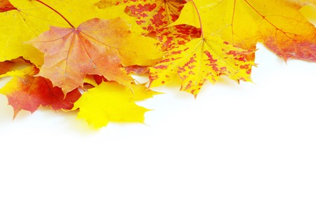 autumn maple leaves isolated on a white Stock Photo - 8008115
