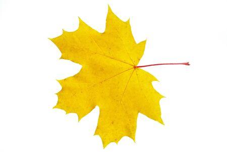 autumn maple leaf isolated on white background photo