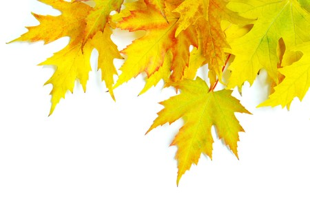 autumn maple leafs isolated on a white  photo