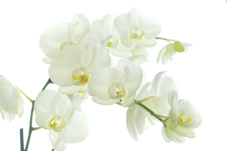 flores exoticas: Orqu�dea blanca aislada sobre fondo blanco